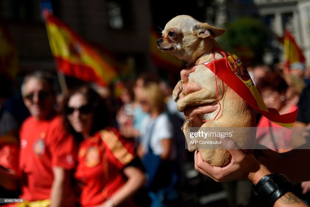 A dog wrapped in a Spansih flag is pictured during a demonstration called by 'Societat Civil Catalana' (Catalan Civil Society) to support the unity of Spain on October 8, 2017 in Barcelona. Ten of thousands of flag-waving demonstrators packed central Barcelona to rally against plans by separatist leaders to declare Catalonia independent following a banned secession referendum. Catalans calling themselves a 'silent majority' opposed to leaving Spain broke their silence after a week of mounting anxiety over the country's worst political crisis in a generation. GUERRERO
