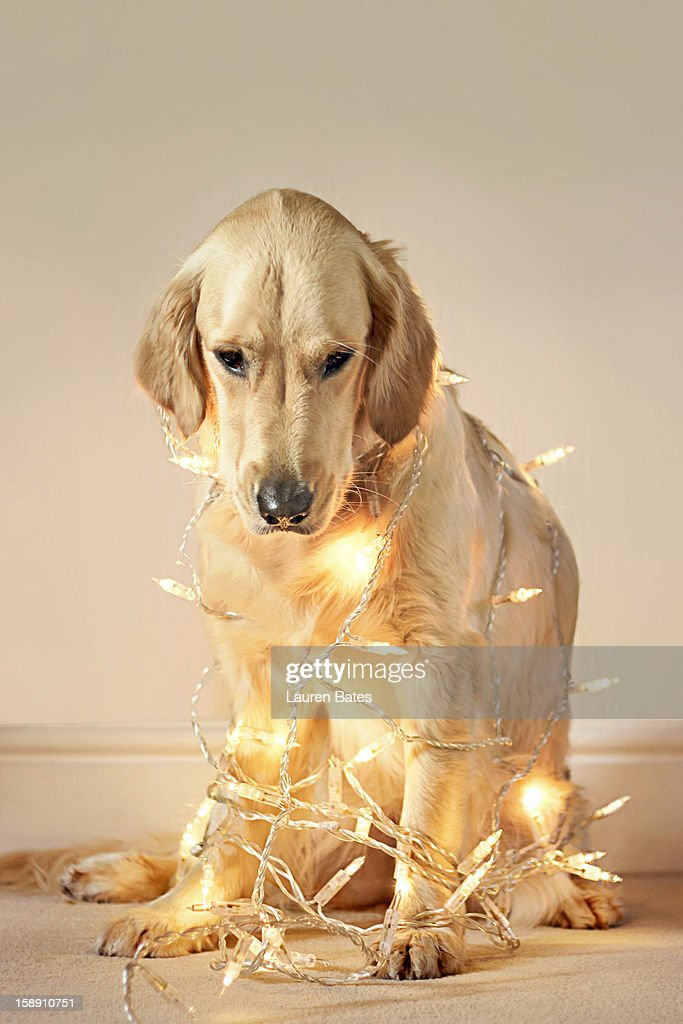 dog wrapped in christmas lights stock photo - Dog Christmas Lights