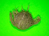 Dog-chewed tennis ball, on green background, studio shot
