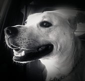 Black and white photograph of a mixed breed dog enjoying a car ride