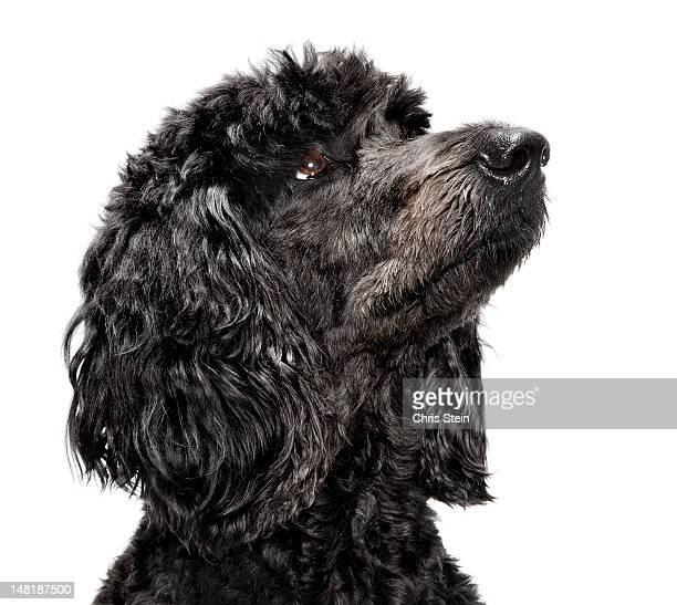 Doggy Labradoodle portrait