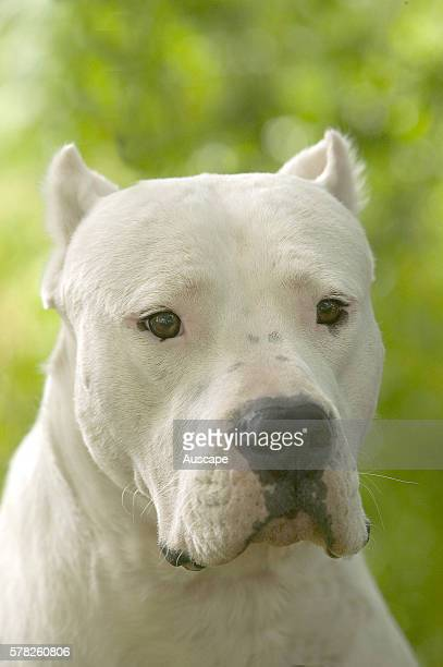 Breed Of Dog Used To Hunt Pumas