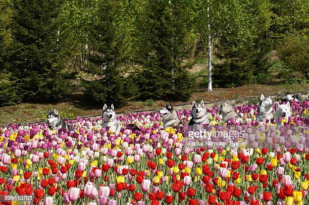 Dogs Amidst Tulips On Field At Park