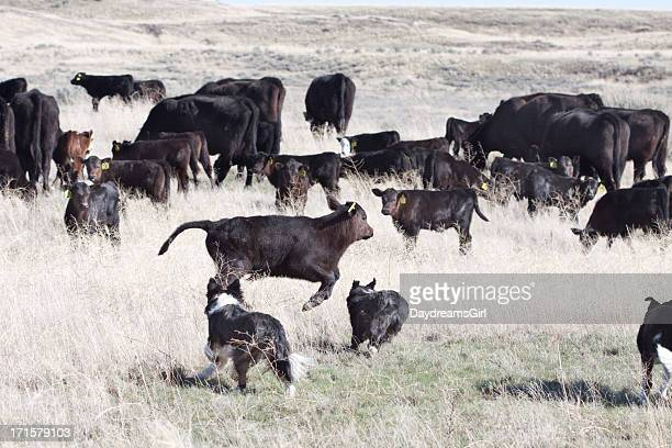 Dogs and Cattle on Open Range