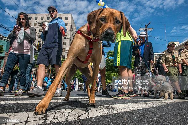 Dogs and their human companions make their way up Norfolk avenue for the 9th annual strut your mutt dog parade and festival put on by the Bethesda...