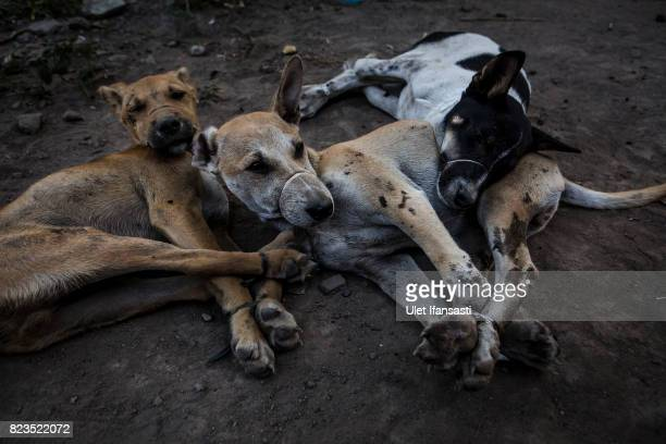 Dogs are bound before their slaughter at a dog meat butchery house on July 25 2017 in Yogyakarta Indonesia Indonesians have seen a surprising hike in...