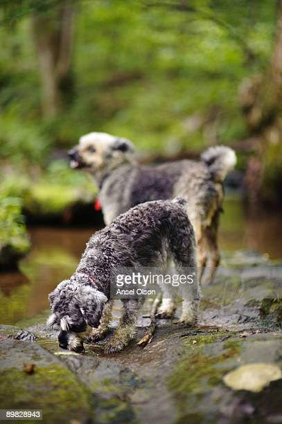 Dogs at the creek