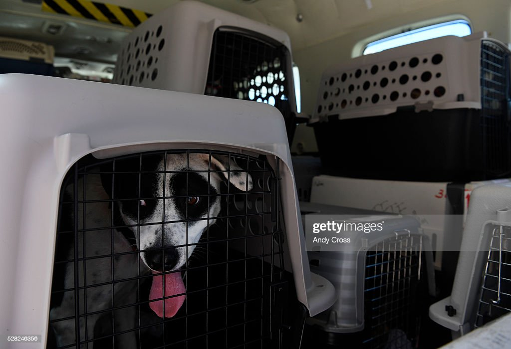 Dogs await foster parents inside of an a Dog is My Pilot airplane at the TAC Air hanger May 04, 2016. The Dog is My Copilot organization flew in over 90 rescue dogs and rescue cats from Texas and New Mexico to awaiting foster organizations at Centennial Airport May 04, 2016.