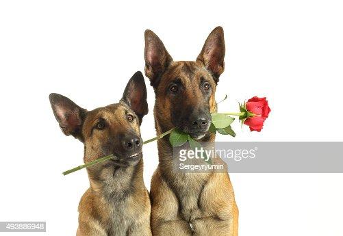 anniversaire chien malinois