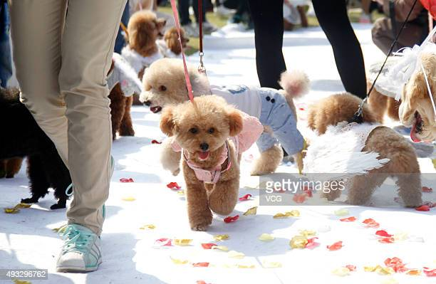 Dogs dressed up prepare for a group wedding ceremony for dogs on October 18 2015 in Nanjing Jiangsu Province of China 15 dog couples got married with...