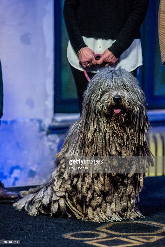Dogs During Westminster Kennel Club Dog Show host David Frei discusses the upcoming 140th Show with three dogs that will be in the competition at AOL Studios In New York on February 10, 2016 in New York City.