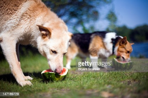 Dogs eating watermelon : Stock Photo
