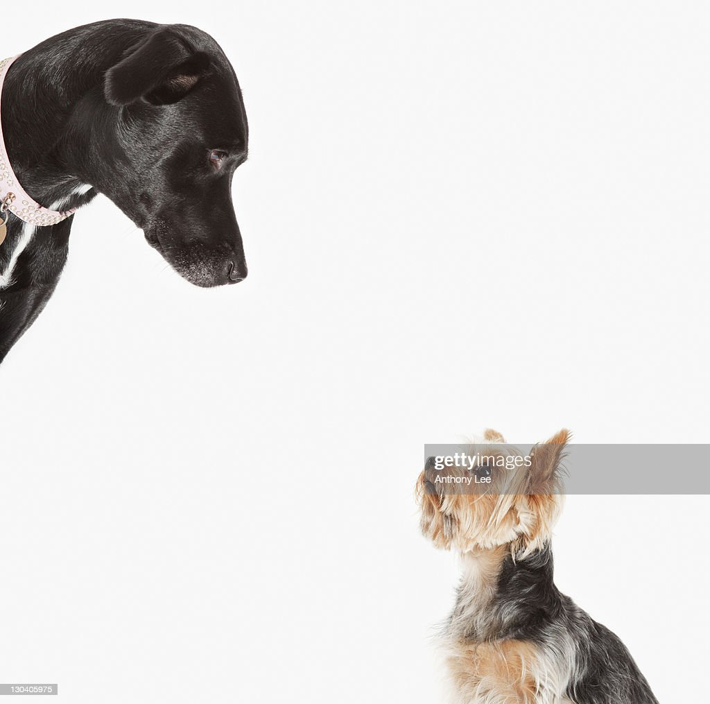 Dogs examining each other : Foto stock