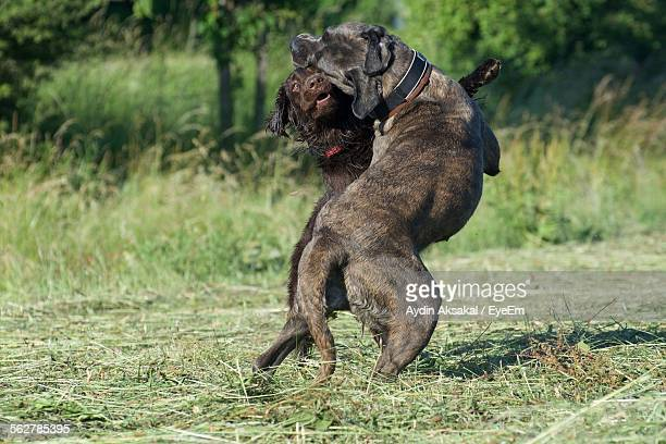 Dogs Fighting On Grassy Field