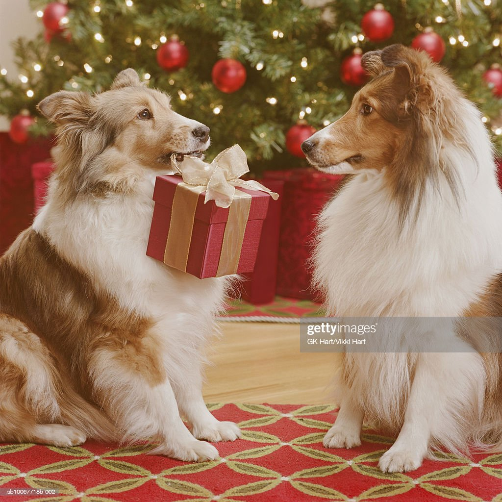 Dogs giving gift to each other, close-up : Stock Photo