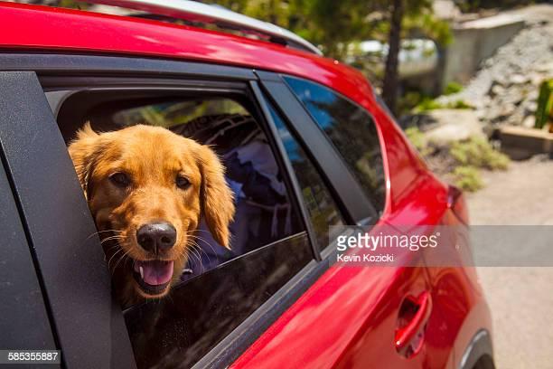 Dogs head poking out of red car window
