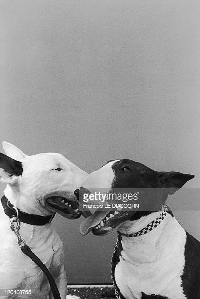Dogs in 2005 Bull terrier