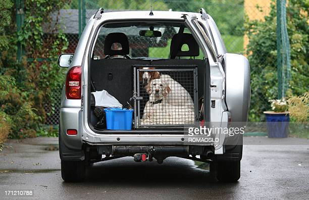 Dogs in a car - Ready To Go ! English Setters