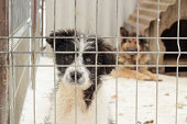 Young dog with sad eyes behind grates in animal shelter, older dog visible in the back