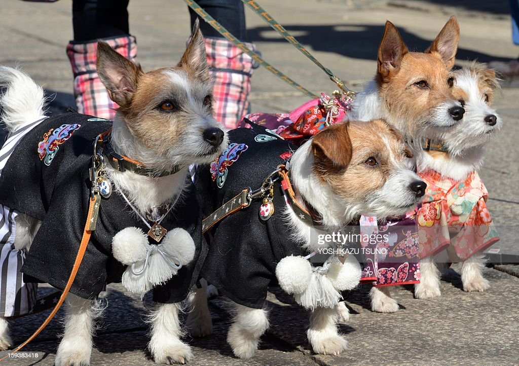 Dogs in dressed in clothing look on as they are photographed after attending a purification ceremony by Shinto priests (not pictured) at the Ichigaya Kamegaoka-Hachiman shrine in Tokyo on January 13, 2013. Some 500 pets and their owners visit at the shrine to celebrate for the New Yaer and pray for their animal's health and happiness. AFP PHOTO / Yoshikazu TSUNO
