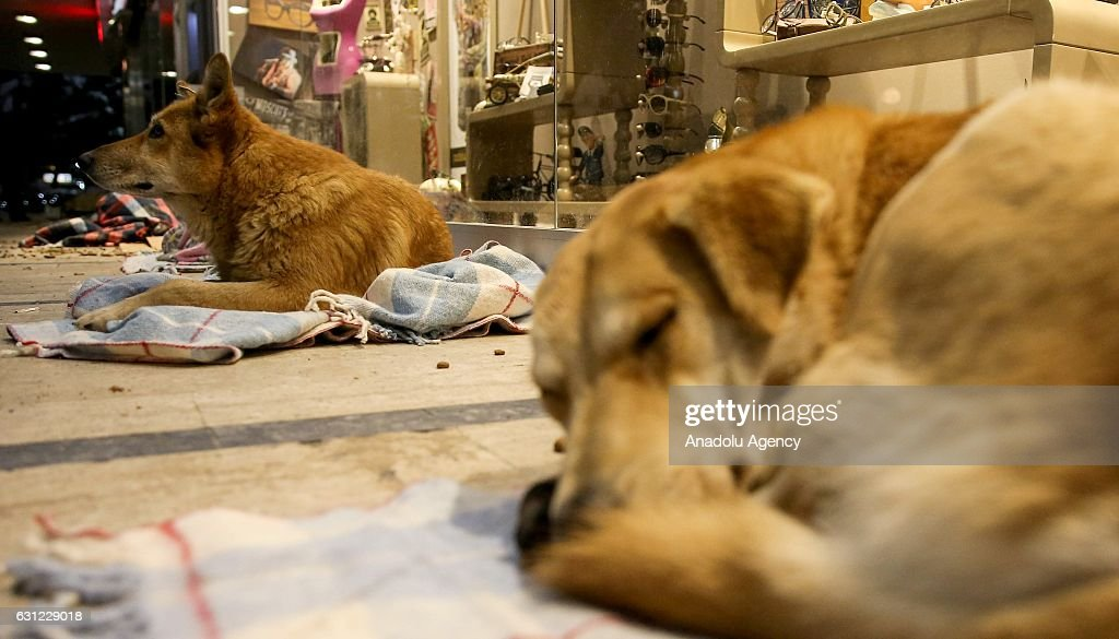 Dogs lie on blankets to stay warm at the entrance of a shopping center in Bakirkoy district of Istanbul, Turkey on January 8, 2017. Citizens feed animals and lay blankets on the floor to warm them up during inclement weather conditions.