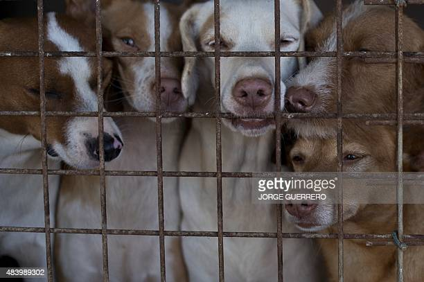Dogs look through a wire cage at a kennel in the neighborhood of Guadiaro San Roque on June 19 2015 More than 30 cages with up to five dogs in each...