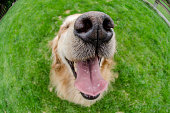 A happy view of a golden retriever's face using a fisheye lens