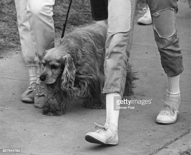 Dogs Namu a cocker spaniel who trotted being side his mistress Nancy Farrington a Fairview High School student was walking for 25 cents a...