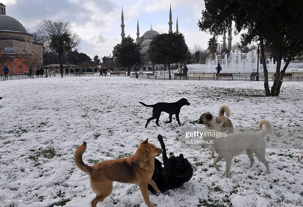 Dogs play in the snow covered Sultanahmet square in downtown Istanbul on January 8, 2013. Heavy snowfall blanketed Turkey's commercial hub Istanbul, a city of 15 million, paralysing daily life, disrupting air traffic and land transport. Officials said the snow expected to continue until late tomorrow, according to the weather forecast. AFP PHOTO / BULENT KILIC