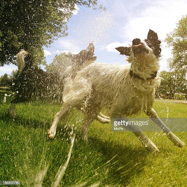 Dogs playing in the sprinkler