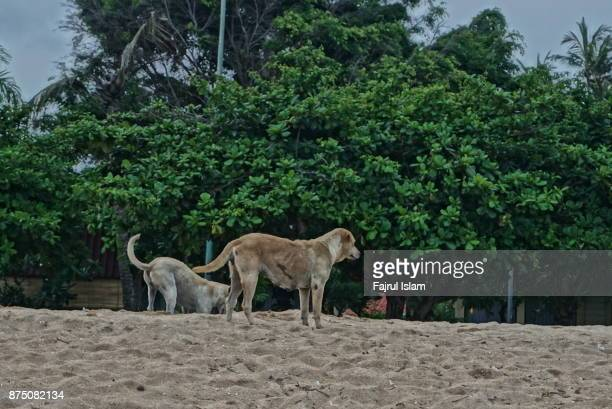 Dogs playing on the sand of Sanur beach, Bali