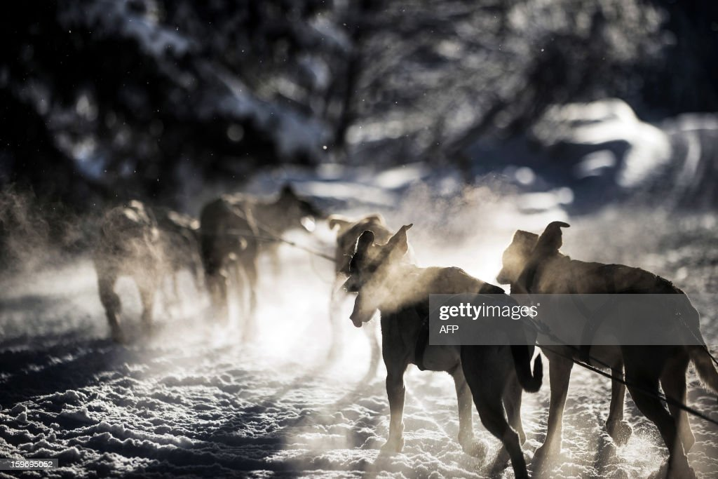 Dogs pull a sledge, on January 18 2013 in Megeve, during the departure of a stage of the Grande Odyssee sledding race.