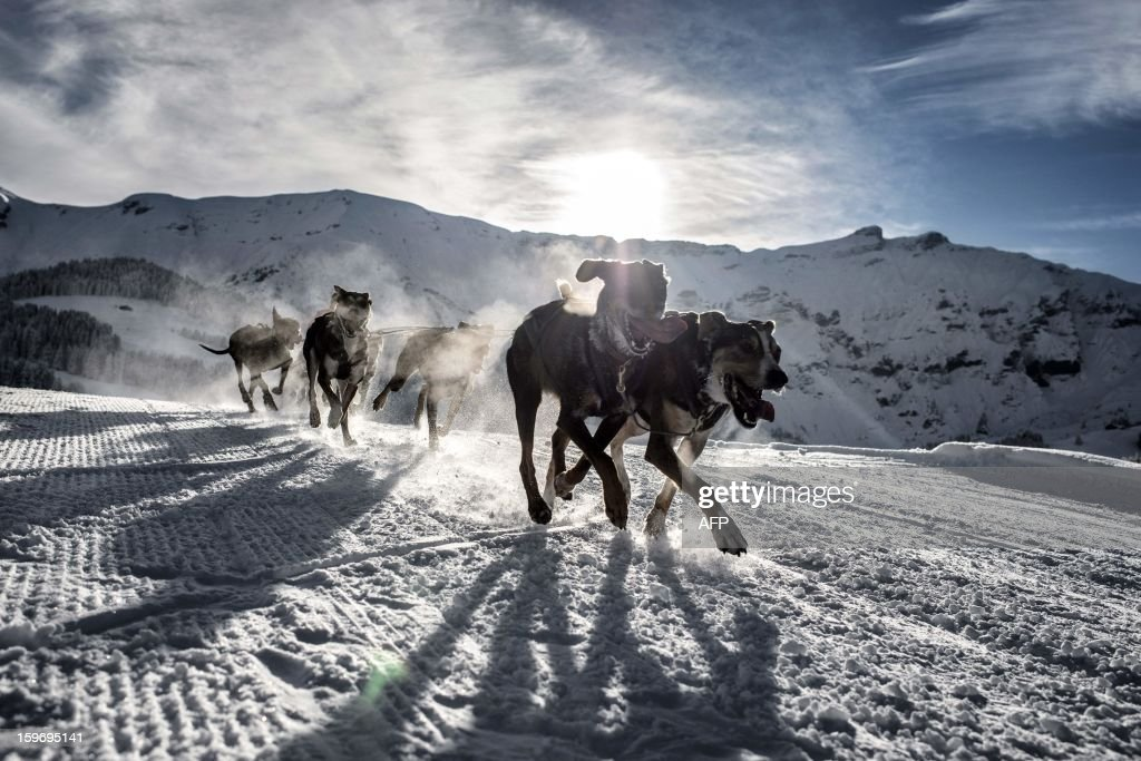 Dogs pull a sledge, on January 18 2013 in Megeve, during the departure of a stage of the Grande Odyssee sledding race. AFP PHOTO / JEFF PACHOUD