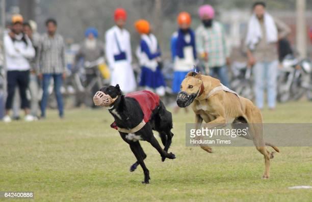 Dogs race in progress on the inaugural day of Kila Raipur Rural Sports Festival at village Kila Raipur on February 17 2017 in Ludhiana India