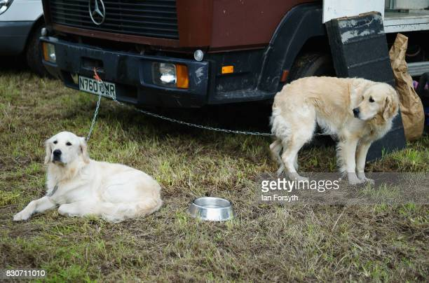 Dogs rest tethered to a horsebox during the 194th Sedgefield Show on August 12 2017 in Sedgefield England The annual show is held on the second...