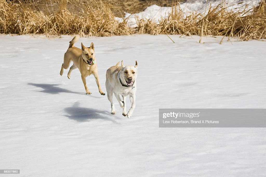 Dogs running in snow : Stock Photo