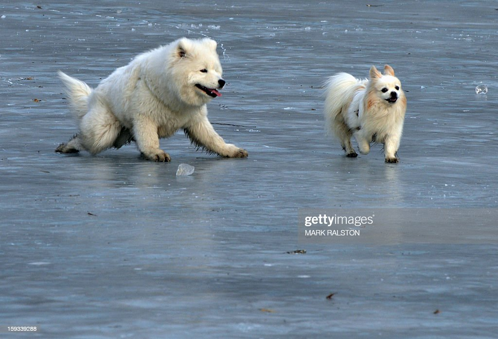 Dogs slip as they play fight on the frozen Houhai Lake in Beijing on January 12, 2013. The lake attracts scores of tourists and locals who use its frozen surface for skating, ice swimming and even exercising their dogs despite winter temperatures of up to minus 18 Celsius (0 F). AFP PHOTO / Mark RALSTON