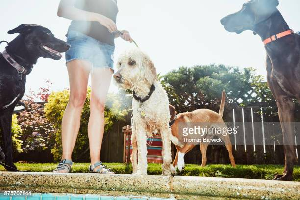 Dogs standing with owner after swimming in backyard pool on summer afternoon