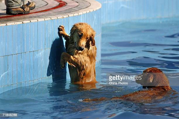 Dogs swim at the Pet Club at a park on September 10 2006 in Beijing China Experts predict that the annual sale of pet food and necessities in the...