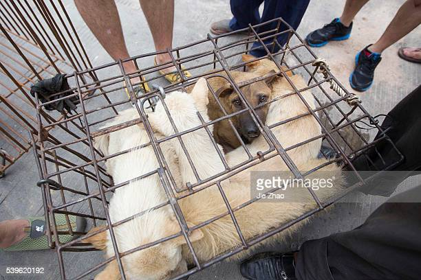Dogs to be killed are caged at a free market ahead of the Yulin Dog Eating Festival in Yulin city south China's Guangxi Zhuang Autonomous Region on...