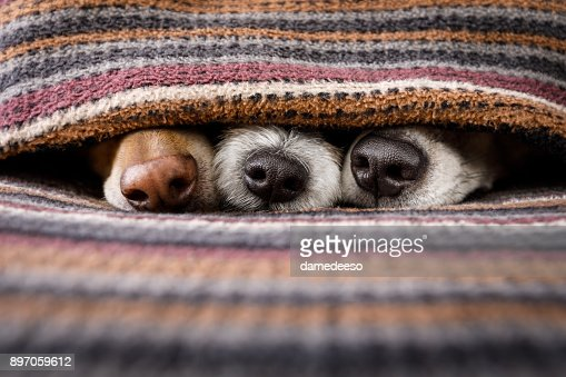 dogs under blanket together : Stock Photo