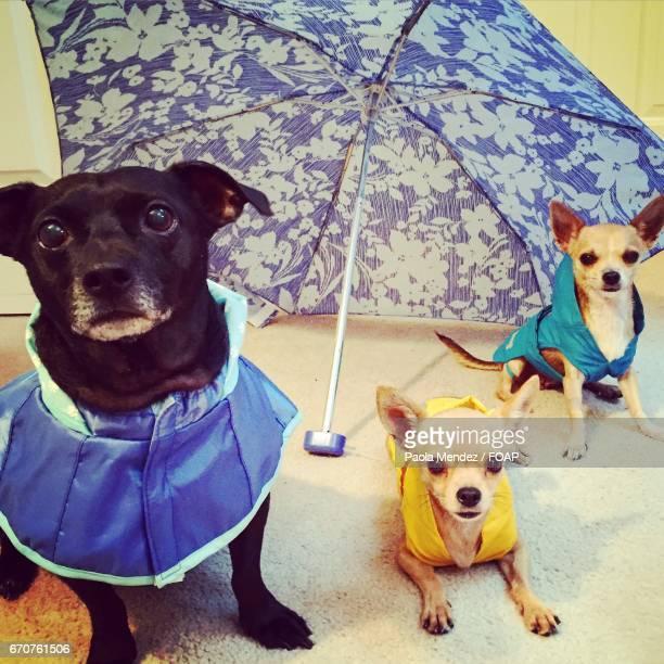 Dogs wearing raincoat