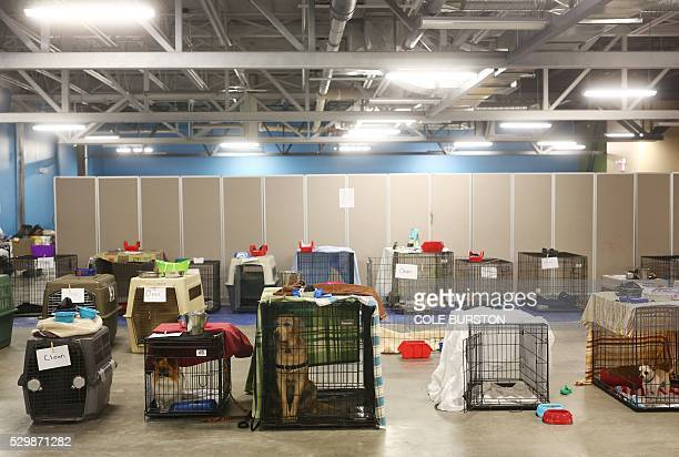 Dogs who were evacuated with their owners sit in cages at an evacuee centre in Lac la Biche Alberta on May 9 amid extensive wildfires Fort McMurray...