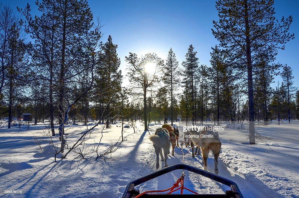 Dogsledding in Lapland : Stock Photo