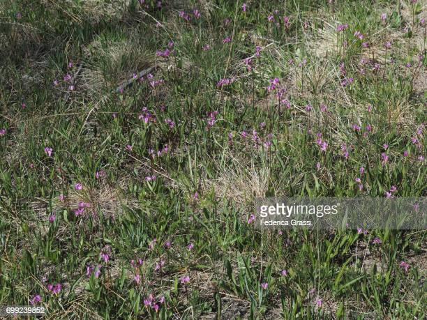 Dogtooth Violet (Erythronium Dens Canis)