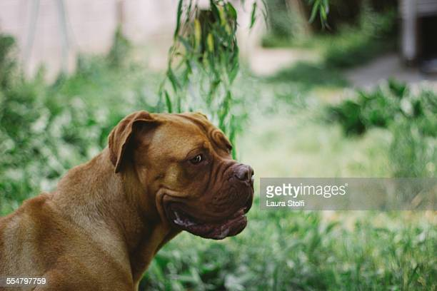 Dogue de Bordeaux adult dog in summer garden
