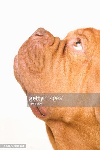Dogue de Bordeaux in studio, close-up, side view : Stock Photo