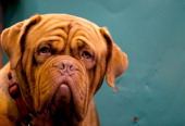 Dogue de Bordeaux looks out from its kennel on first day of Crufts dog show at the NEC on March 6 2014 in Birmingham England Said to be the largest...