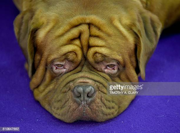 Dogue de Bordeaux rests in the competition area February 16 2016 in New York during Day Two of competition at the Westminster Kennel Club 140th...