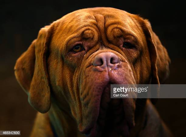 Dogue De Bordeaux rests on the second day of Crufts dog show at the National Exhibition Centre on March 6 2015 in Birmingham England First held in...